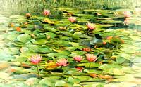 Water Lilies - Adamstown, MD