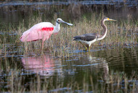 Roseate Spoonbill and Tri-colored Heron