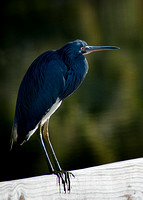 Little Tricolored Heron