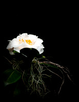 White Camellia with Spanish Moss