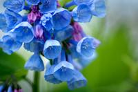 Bluebells 7