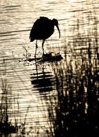 Ibis Silhouette